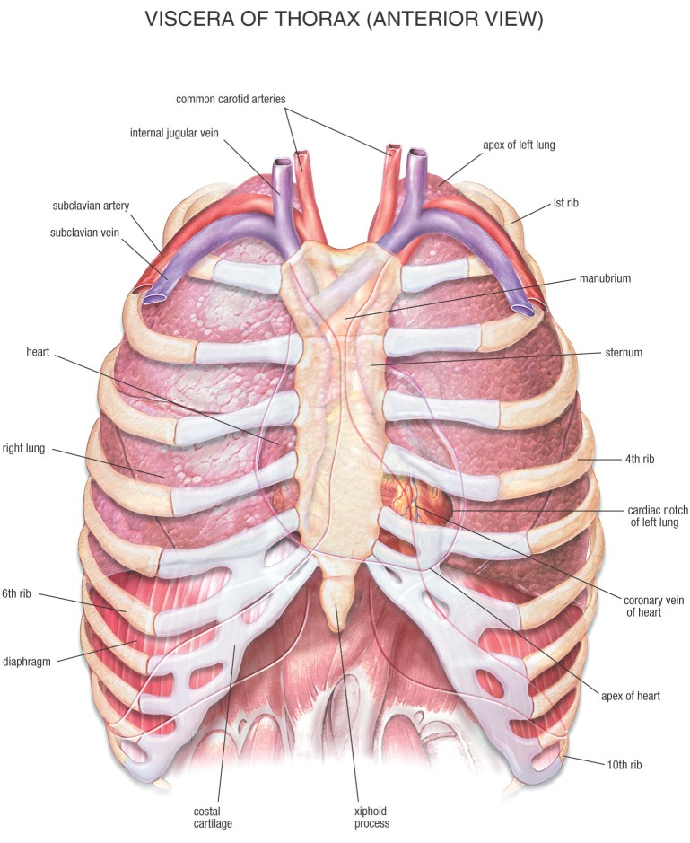 Chest Anatomy Thelibernation