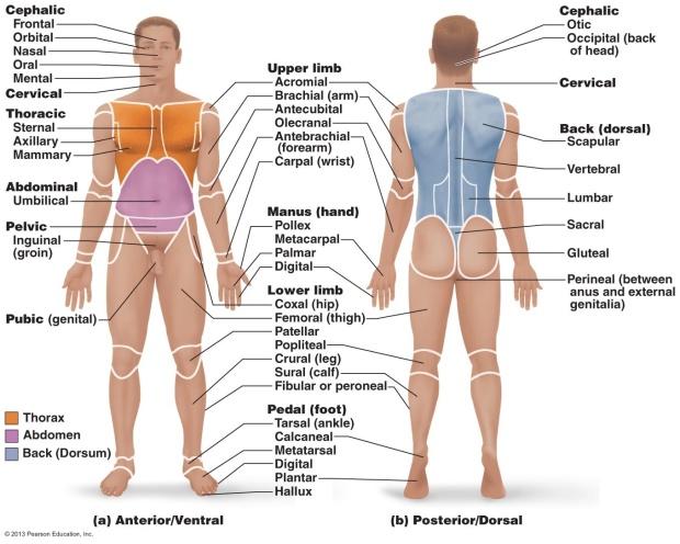 anatomical land marks
