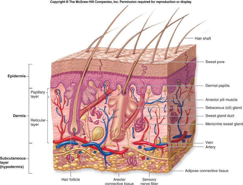 Integumentary system diagrams flashcards quizlet diagram integumentary system diagrams flashcards quizlet archives anatomy bibliography the integumentary system ccuart Gallery